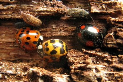 Harlequin ladybird under bark hibernating