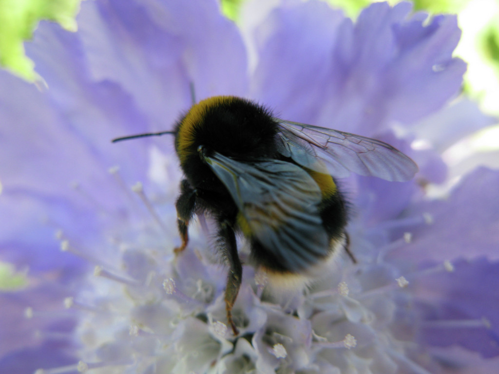 BUff-Tailed Bumblebee on a Scabiosa flower Credit RHS/ Andrew Halstead