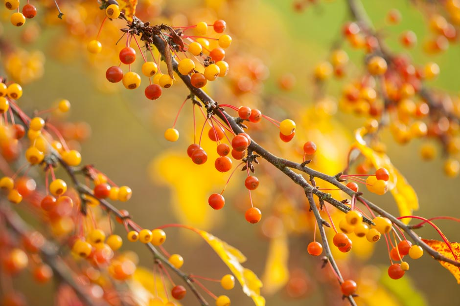 Orange and yellow berries of Malus transitoria in autumn
