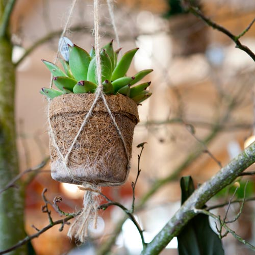 Stunning succulent in hanging plant holder