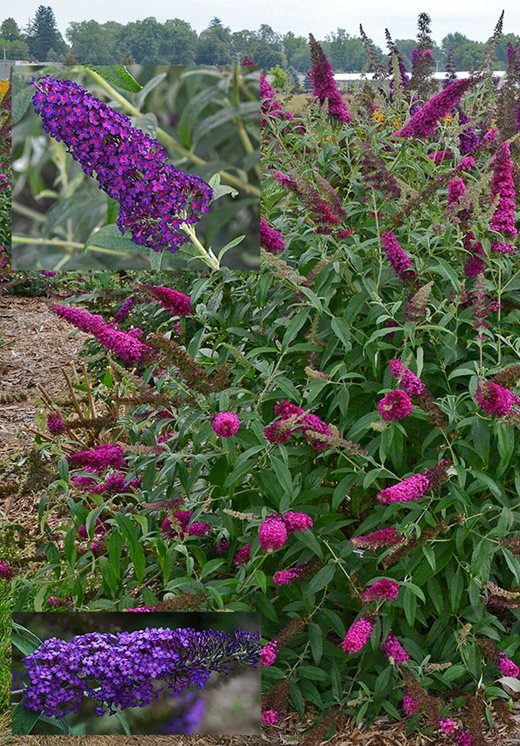 Buddleja Monarch Series