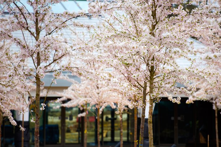 An impressive colonnade avenue of cherry trees