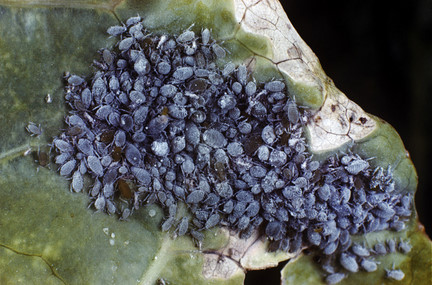 Mealy cabbage aphid