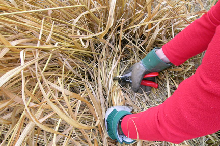 Cutting back perennials. Credit: RHS Advisory.