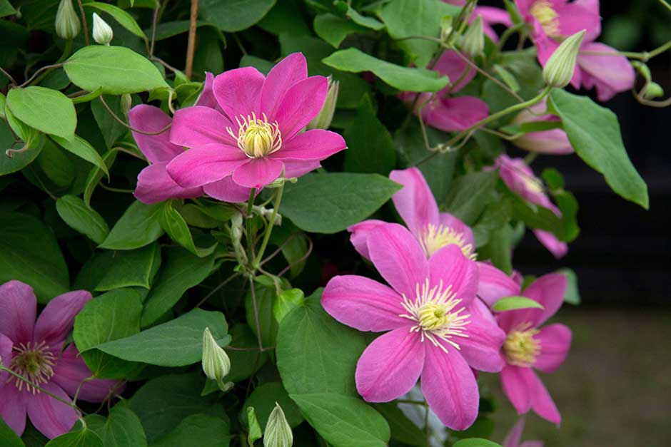 Discover clematis
