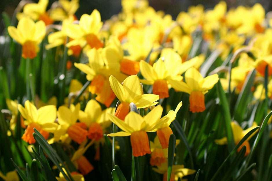 Get the best from your daffodils