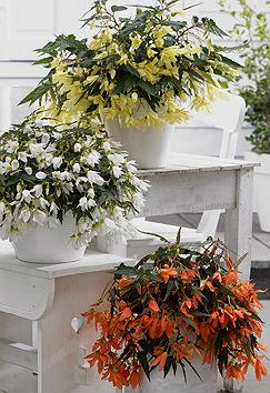 Begonias 'Beauvilia Lemon', 'Beauvilia White' and 'Beauvilia Salmon'