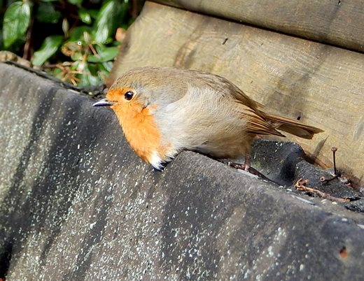 The robin's mate has been favouring her left leg