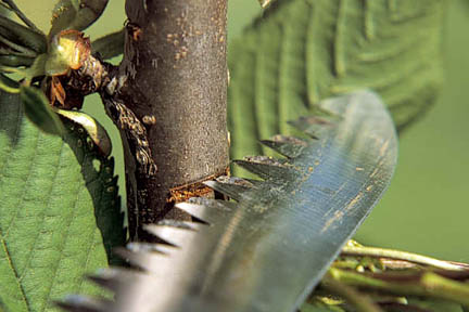 Cuts made to some plants can bleed sap. Credit:RHS/The Garden.