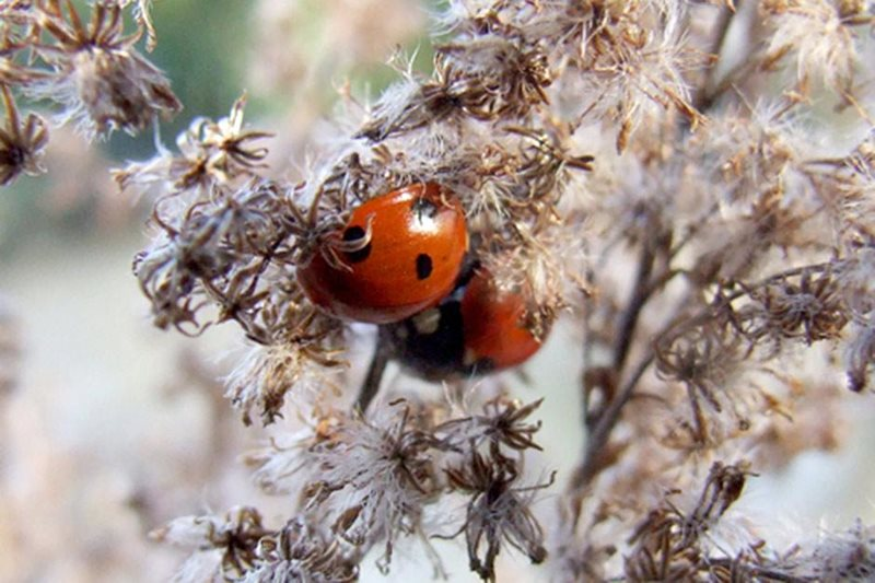 Ladybirds sheltering in seed heads