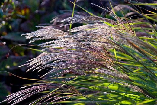 Miscanthus sinensis 'Grosse Fontane'