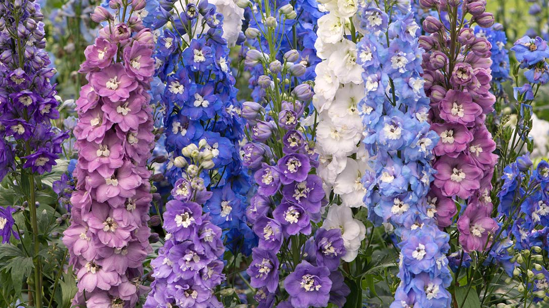 RHS Delphinium Collection