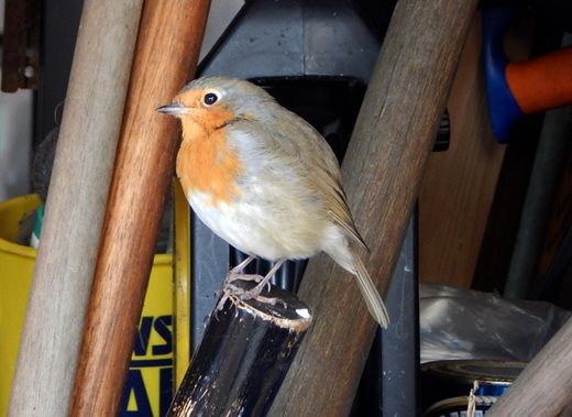 The home robin on one of his perches