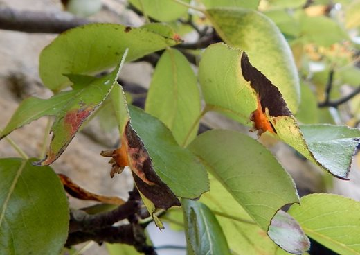 Pear tree rust fungus