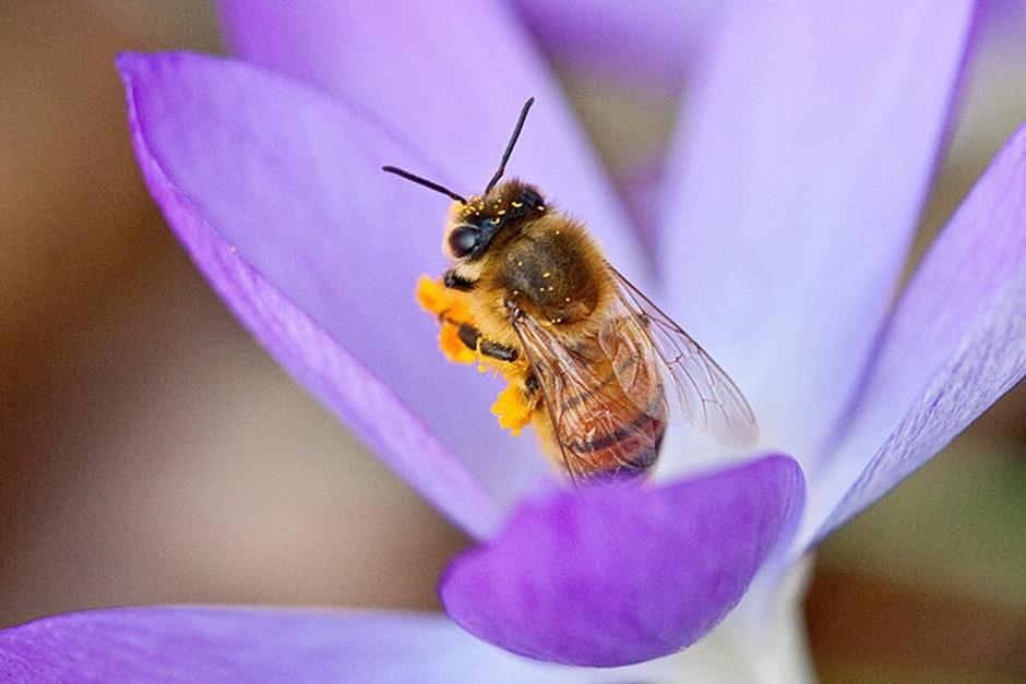 Bee on Crocus tommasinianus
