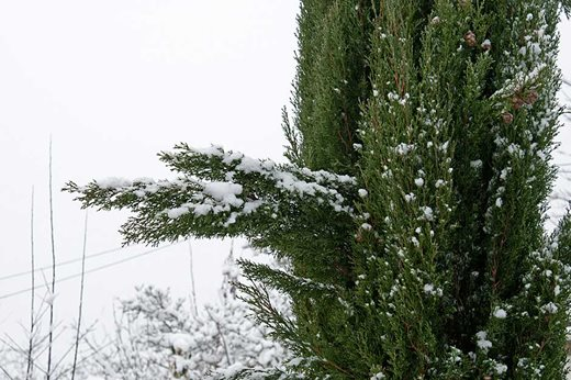 snow on conifer branch