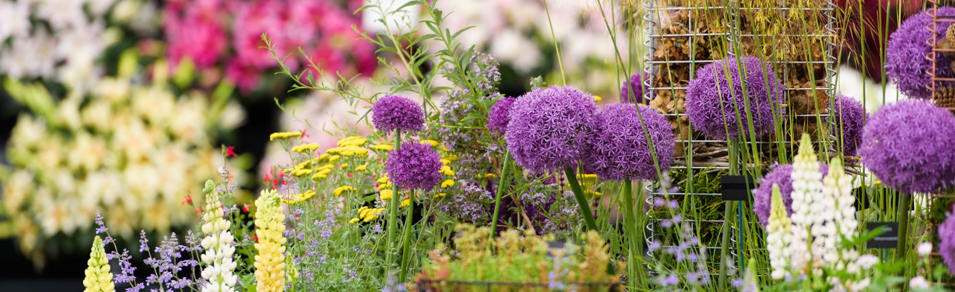 Alliums in the floral marquee