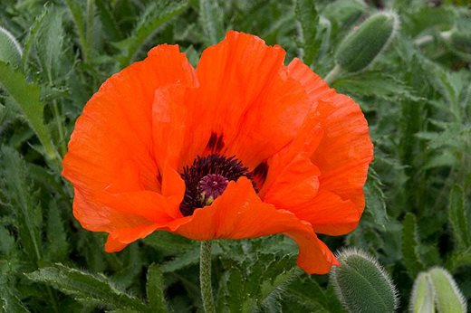 Papaver orientale 'Beauty Queen'