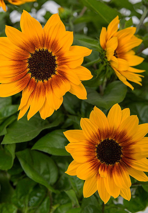 Helianthus annuus Sunbelievable Brown Eyed Girl ('Sunbeliv01')